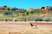 Sauvage dingo — Photo