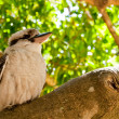 Kookaburra standing on a tree in a forest — Stock Photo