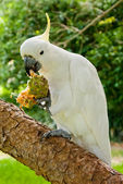 White cockatoo standing on a tree eating an exotic fruit — Stock Photo