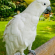 Stock Photo: White cockatoo standing on bench