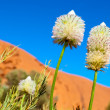 Desert flowers (Ayers Rock, Australia) — Stock Photo #10535897