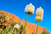 Desert flowers (Ayers Rock, Australia) — Stock Photo