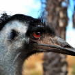 Royalty-Free Stock Photo: Emu, Northen Territory