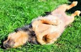 Happy dog relaxing on the grass — Stock Photo