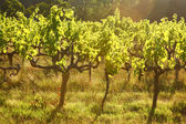 Grape vines, Stellenbosch, South Africa — Stock Photo