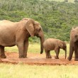 Family of African elephants, South Africa — Stock Photo