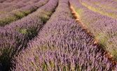 Lavender field, Franschhoek, South Africa — Stock Photo