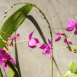 Purple Terrestrial Orchid Flower — Stock Photo