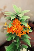 Ixora Stricta Flower — Stock Photo
