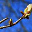 Stock Photo: Spring Bud