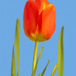 Red tulip — Stock Photo #9704646