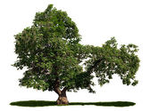 Catalpa bignonioides - cigar tree — Stock Photo
