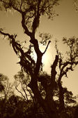Spanish moss cover tree — Stock Photo
