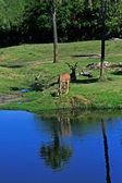Antelope at the Jacksonville Florida Zoo — Stock Photo