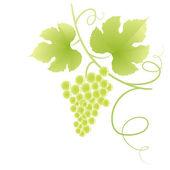 Beautiful green grape vine. — Stock Vector