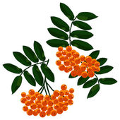 Mountain ash branches set isolated on the white background. — Stock Vector