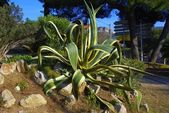 An agave americana — Stock Photo