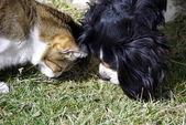 Amitié chat et chien — Stock Photo
