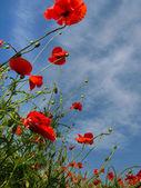 Poppy mavi gökyüzü — Stok fotoğraf