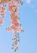 Branch with delicate pink cherry flowers. — Stock Photo