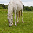 Grazing white horse. — Stock Photo