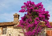 Blooming bougainvillea. — Stock Photo