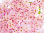 Delicate pink cherry flowers. — Stock Photo