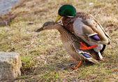 Duck sex. — Stock Photo