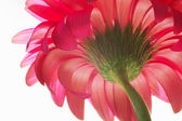 Beautiful unfolded red flower. — Stock Photo