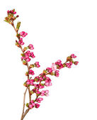 Pink delicate cherry flower buds. — Stock Photo