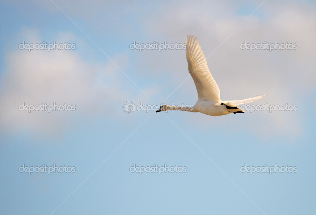 Whooper swan, Cygnus cygnys flying in a blue sky with white clouds. — Stock Photo #10499617