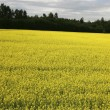 Yellow field — Stock Photo #9860326