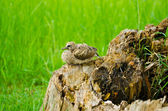 Baby bird waiting for his mother on the stump — Stock Photo