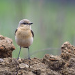 Northern Wheatear (Oenanthe oenanthe) — Stock Photo