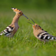 Hoopoe. Male fedding female. - Stock Photo