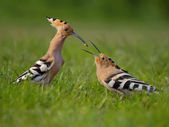 Hoopoe. Male fedding female. — Stock Photo