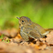 Stock Photo: Juvenile Robin (Erithacus rubecula)