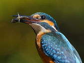Portrait of Kingfisher — Stock Photo