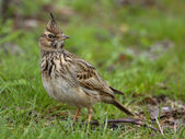 Crested Lark (Galerida cristata) — Stock Photo