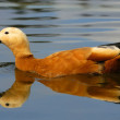 Stockfoto: Ruddy Shelduck (Casarcferruginea)