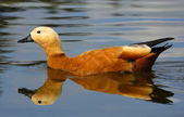 Ruddy Shelduck (Casarca ferruginea) — Stock Photo