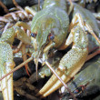 Photo 1 of crayfish 2 — Stock Photo