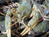 Photo 1 of crayfish 2 — Stock Photo