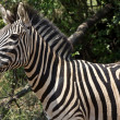 Zebra in a national park — Stock Photo