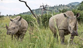 Rhinos in game park — Stock Photo