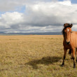 Icelandic horse - Foto Stock
