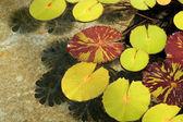 Lilypads ve vodě — Stock fotografie