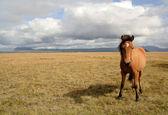 Ijslandse paard — Stockfoto