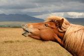 Cavalo islandês — Foto Stock