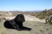 Black Labrador retriever — Foto Stock